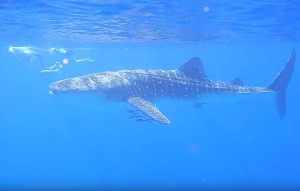В Хургаду вернулись китовые акулы