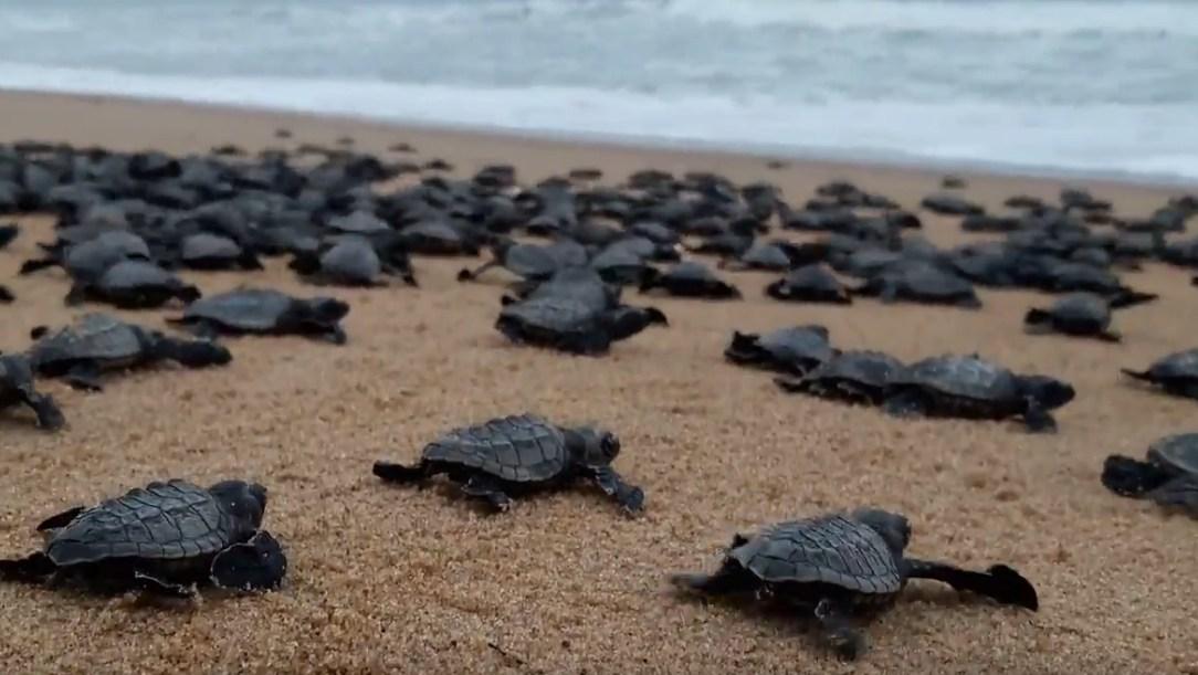 В Гоа туристические пляжи решили отдать черепахам